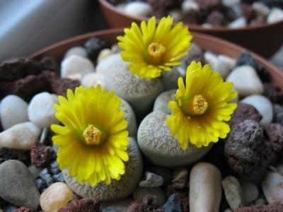 zhivye-kamni-tsvety