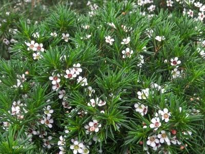 jolka-v-cvetah-hamelacium (6)