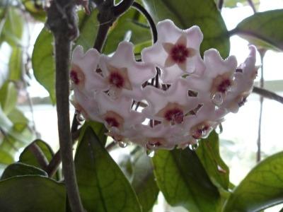 cvetushhaja-liana-hojja(1)