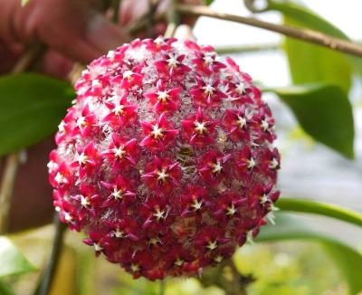 kakie-cvety-pahnut-vecherom (2)
