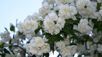 kakie-cvety-pahnut-vecherom (3)