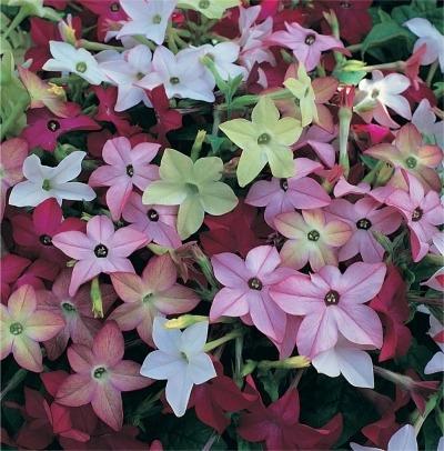 kakie-cvety-pahnut-vecherom (4)