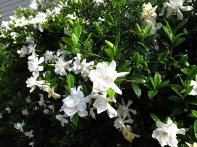 kakie-cvety-pahnut-vecherom
