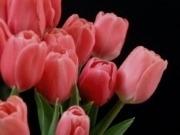 cvety-tyulpany-oshibki