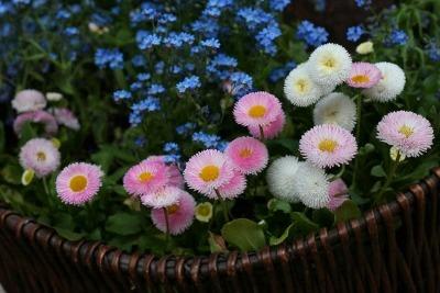 mnogoletnij-cvetok-margaritka (1)