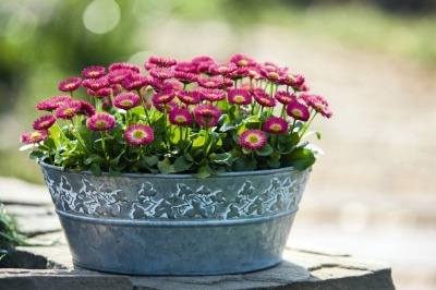mnogoletnij-cvetok-margaritka (4)