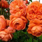 morozov-ne-bojus-kanadskie-rozy