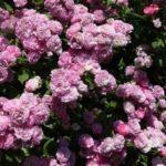 ne-ukryvajut-jeti-rozy (1)