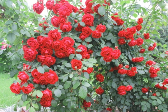 ne-ukryvajut-jeti-rozy (2)