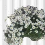 cvety-romashki