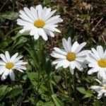cvety-romashki (2)