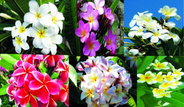 pljumerija-derevce-tropikov